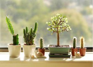 Cactus Venster Stilleven